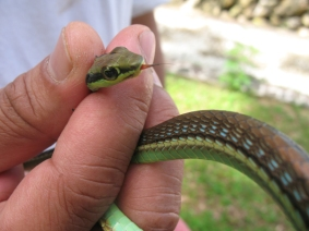 Green snake (Dendrelaphis caudolineatus)