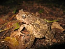 Philippine toad (Ingerophrynus philippinicus)