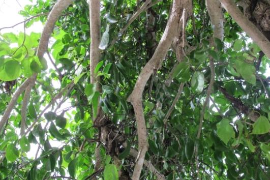 Mistletoe in Apulit
