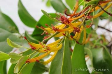 Mistletoe in Apulit up close