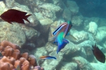 A parrotfish (can't tell which species) getting cleaned by a cleaner wrasse.