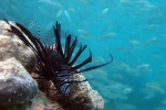 Red lionfish (Pterois volitans). A general rule of the ocean: if it's colorful and moves slowly then it's dangerous.
