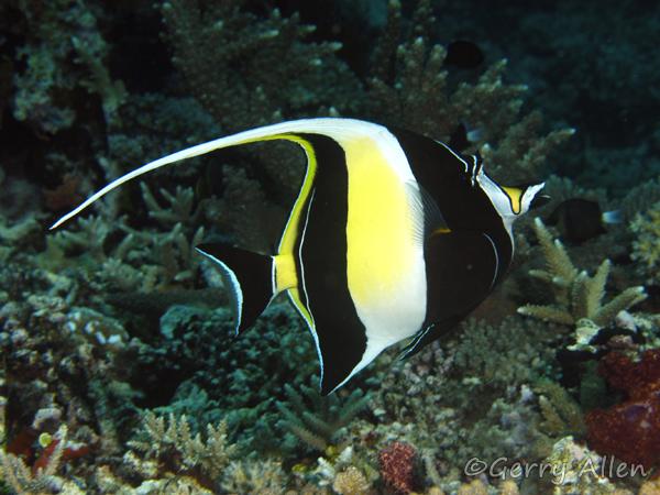 Creature feature moorish idol el nido resorts for Moorish idol fish