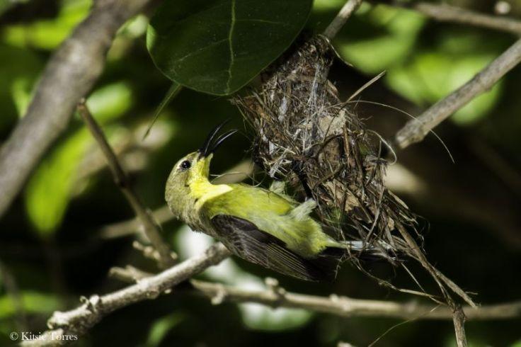olivebacked sunbird female El Nido Kitsie Torres