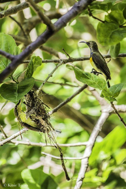olivebacked sunbird pair El Nido Kitsie Torres