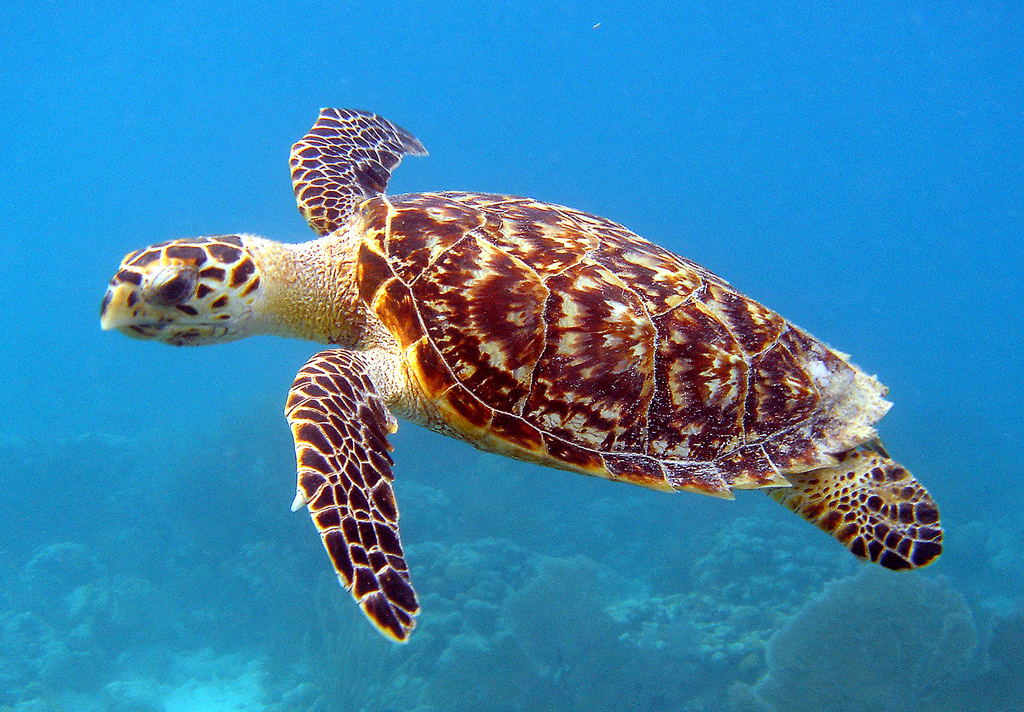 hawksbill - US Fish and Wildlife Service