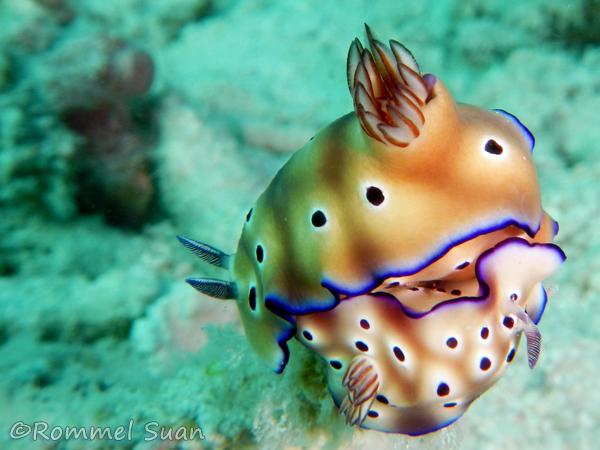 nudibranch2 - rommel suan