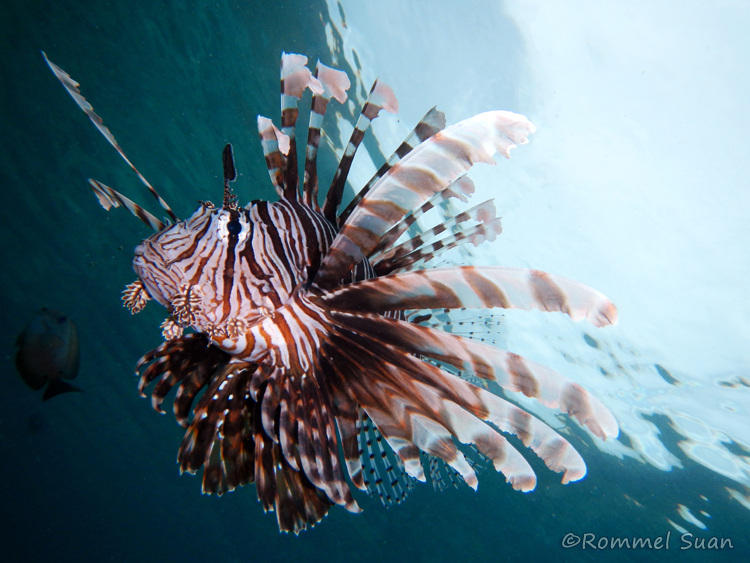 Red lionfish (Pterois volitans) in Miniloc House Reef. Photo by Rommel Suan