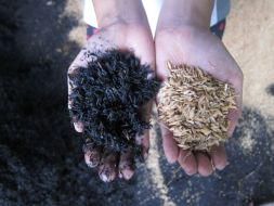 Carbonized versus raw rice hull