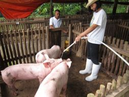 Jamie cleaning the pigs off while cleaning their stall.