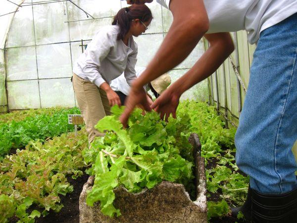 Harvesting lettuce from the TKP greenhouses
