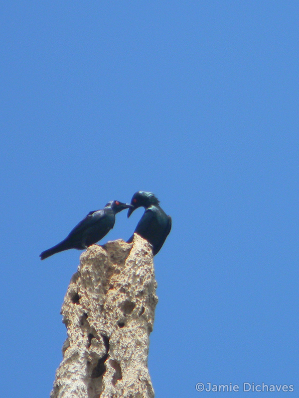 asian glossy starling1 - jamie