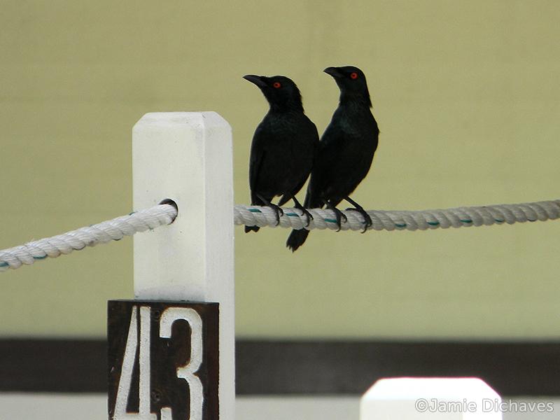 asian glossy starling2 - jamie