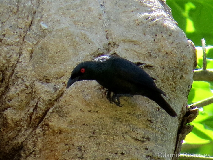 asian glossy starling3 - jamie