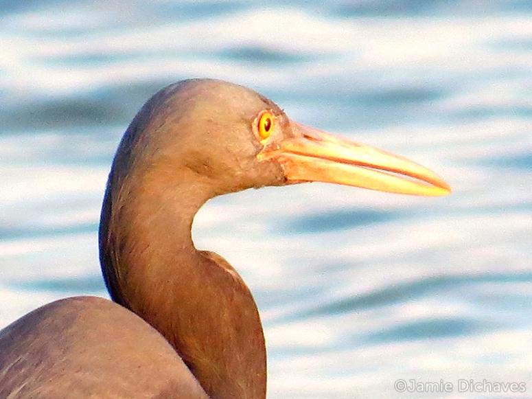 eastern reef egret1 - jamie