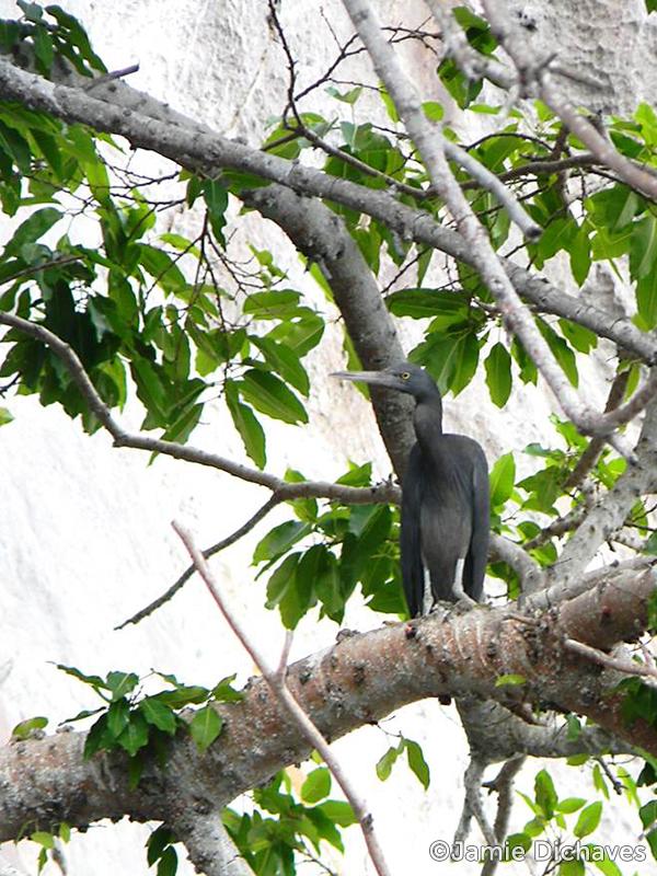 eastern reef egret2 - jamie