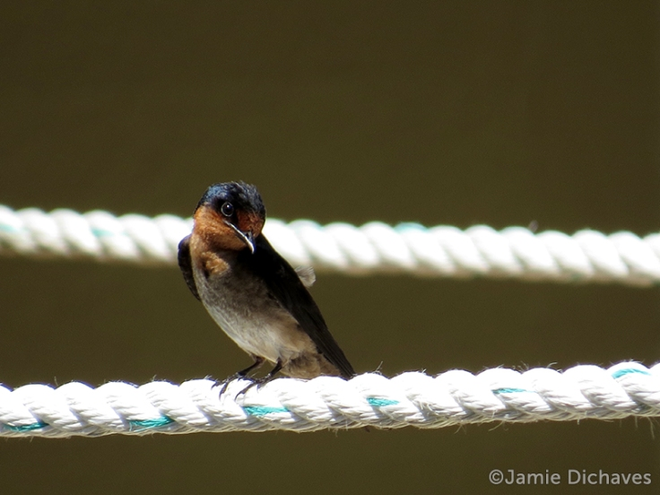 pacific swallow2 - jamie