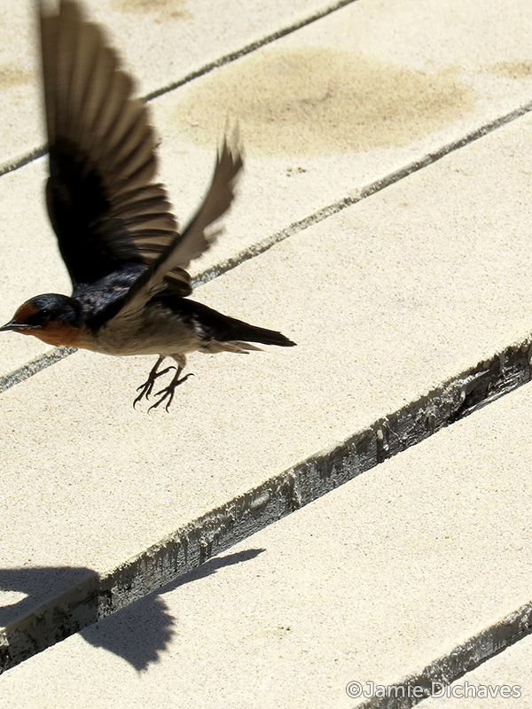 pacific swallow3 - jamie