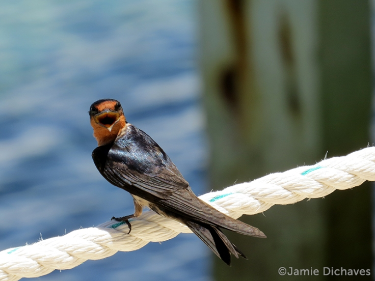 pacific swallow4 - jamie