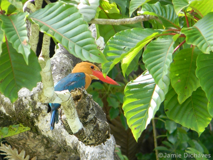 stork-billed kingfisher1 - jamie