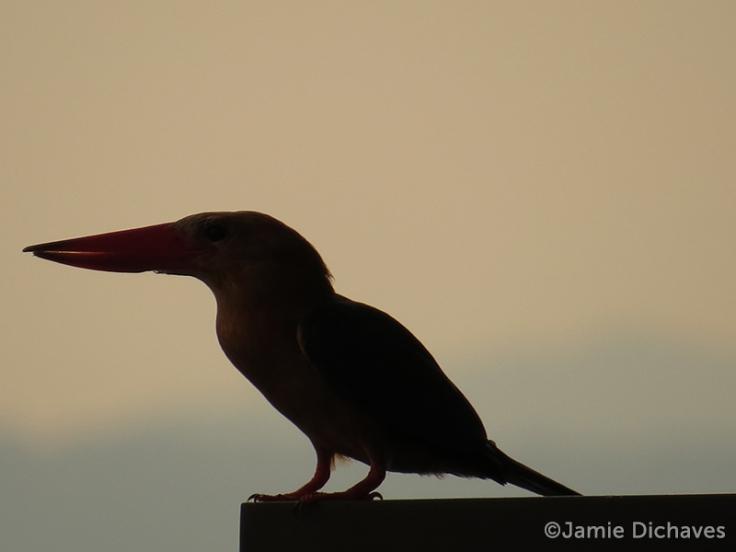 stork-billed kingfisher2 - jamie