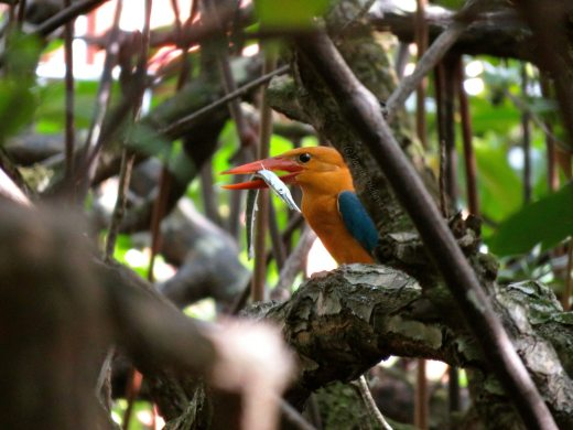 Stork-billed Kingfisher in the Lagen mangroves