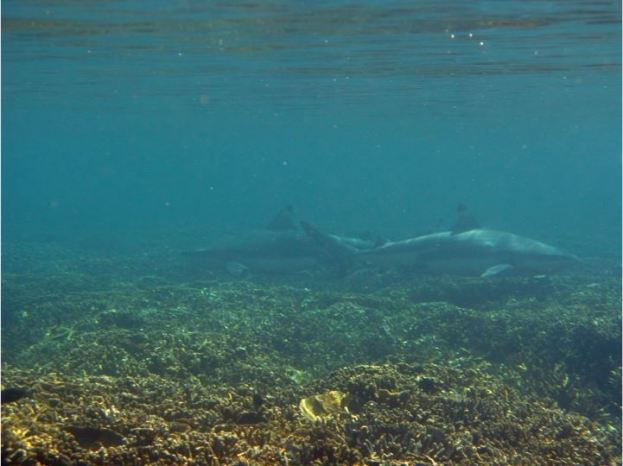 Blacktip reef shark at Pangulasian. Photo by Jenica Dizon.