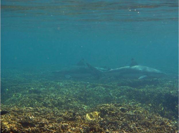 Blacktip reef shark at Pangulasian. Photo by Jenica Dizon.